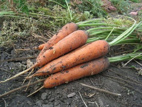 Морковь, выращенная на грядке