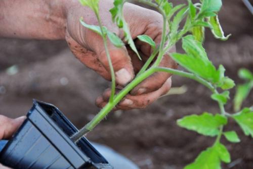 Ростки помидорной рассады для открытого грунта