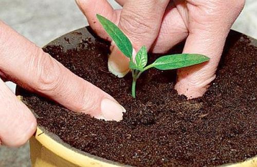 Выращивание помидорной рассады