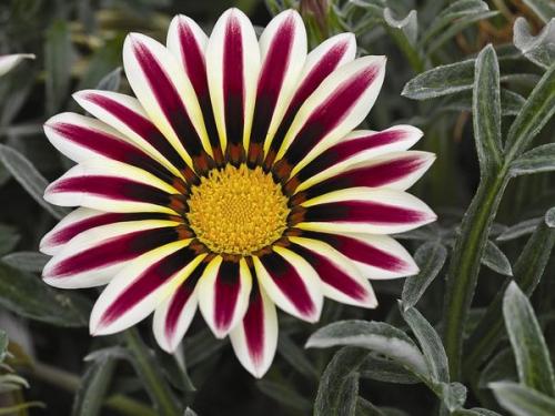 Яркий цветок газания