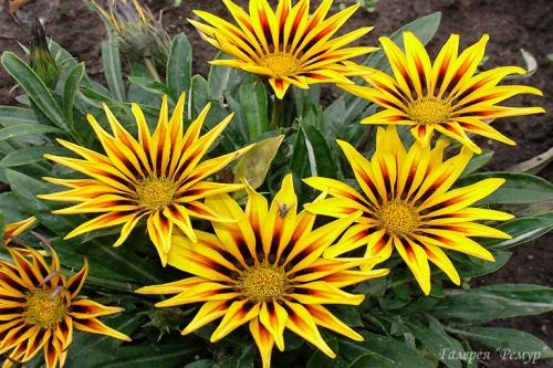 Желтая гацания в саду