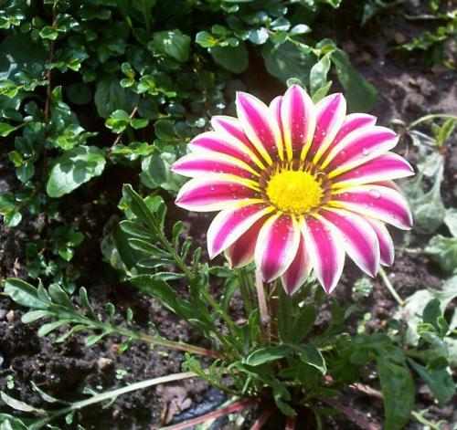 Розово-белый цветок гацании