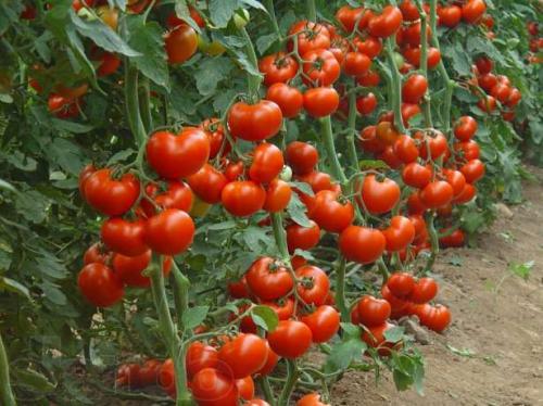 Кусты низкорослых помидоров