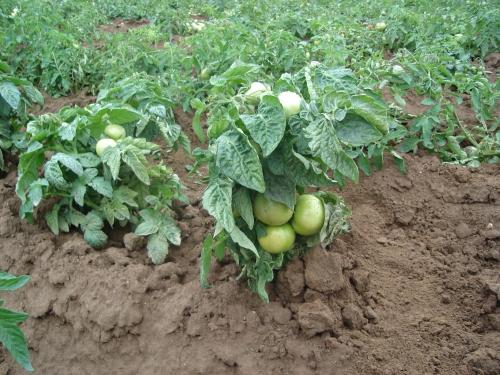 Кусты зеленых помидоров