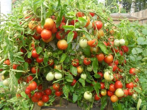 Зеленые и красные помидоры в открытом грунте