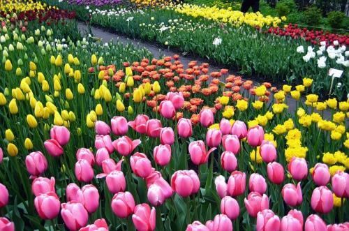 Тюльпаны разных цветов.