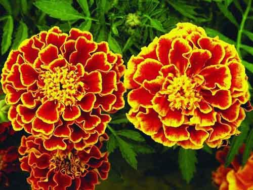 Цветы бархатцы в открытом грунте