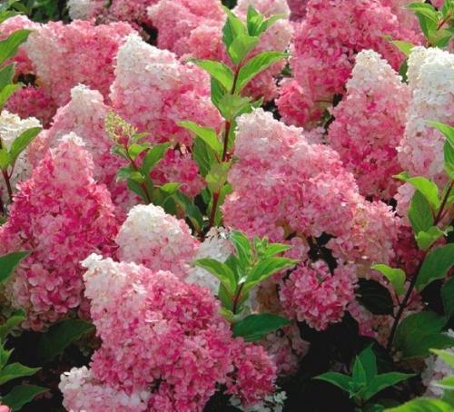 Розовая метельчатая гортензия