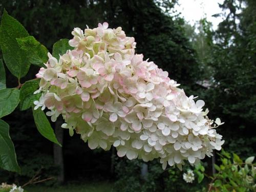 Бело-розовая метельчатая гортензия