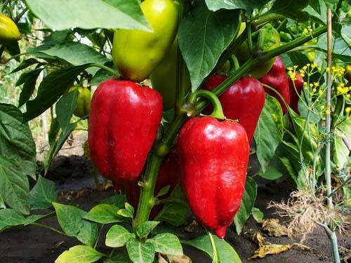 Красные перцы после подкормки