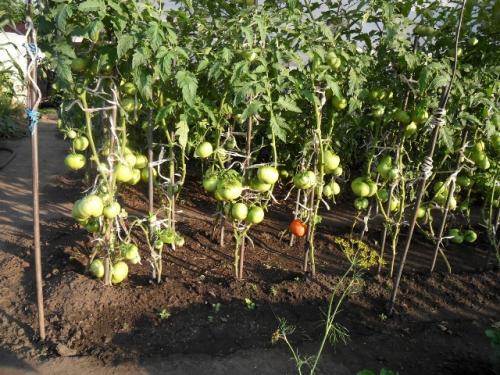 Помидоры, растущие в открытом грунте