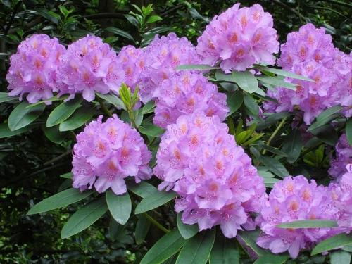 Рододендрон фиолетового цвета