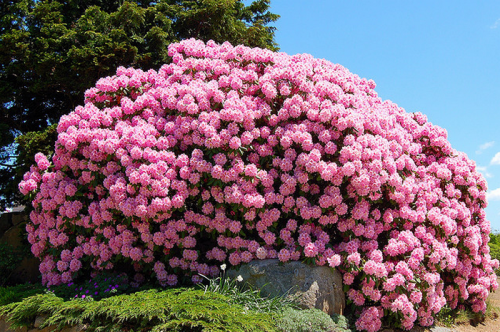Розовые цветки рододендрона