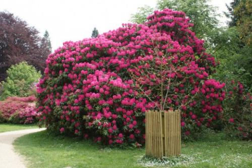 Ярко-розовые  цветки рододендрона