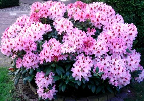 Светло-розовый рододендрон