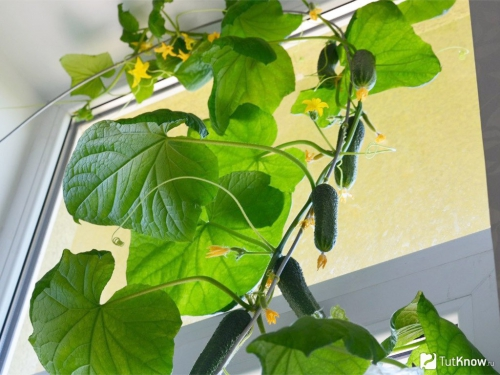 Растущие огурцы на завязи
