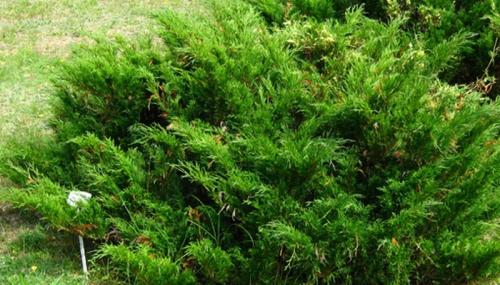 Зеленые заросли можжевельника