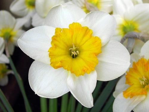 Бело-желтые нарциссы в открытом грунте