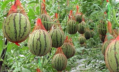 Как сохранить плоды