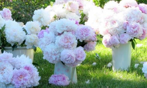 Букеты из розово-белых пионов