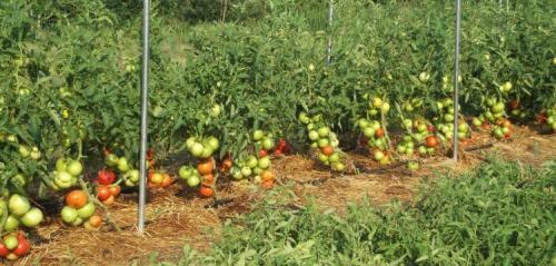 Растущие в открытом грунте томаты