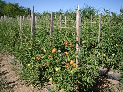 Помидоры и томаты в открытом грунте