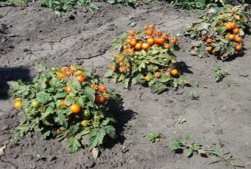 Кусты помидоров в открытом грунте