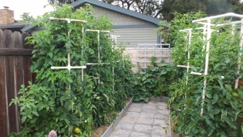 Растущие в огороде помидоры