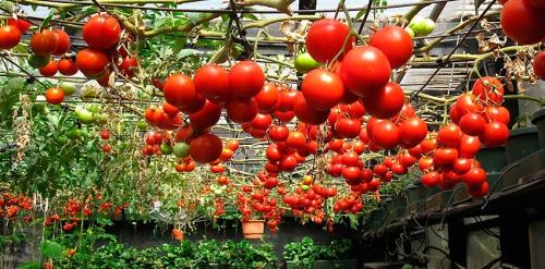 Растущие помидоры в саду