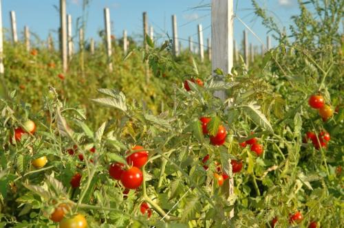 Растущие помидоры в поле