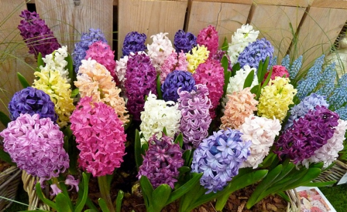 Гиацинты разных цветов