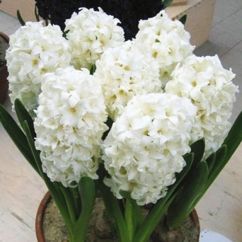 Гиацинты белого цвета