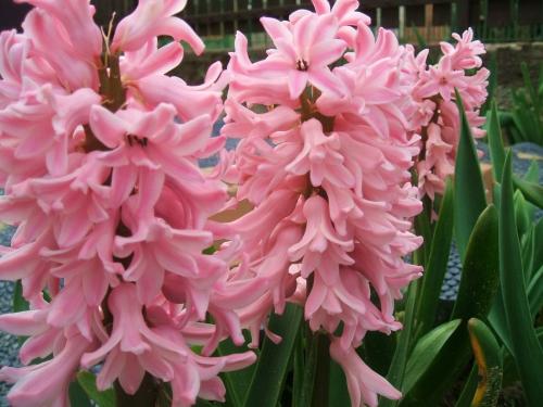 Розовые гиацинты