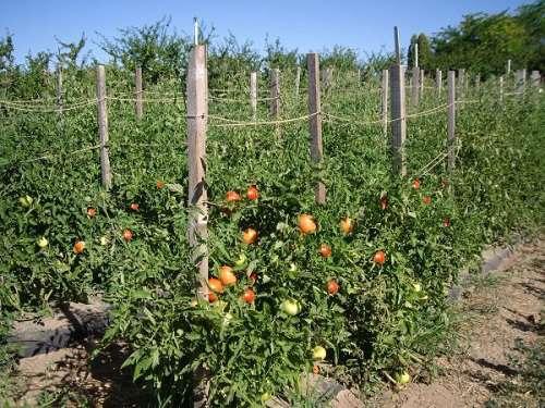 Растущие на грядке помидоры