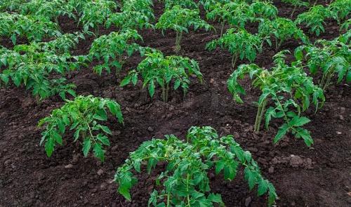 Кусты помидоров в грунте