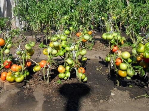 Разноцветные помидоры на грядках