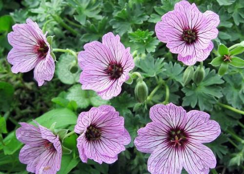 Нежно-розовые цветки садовой герани