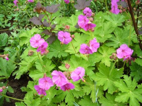Яркие цветы садовой герани