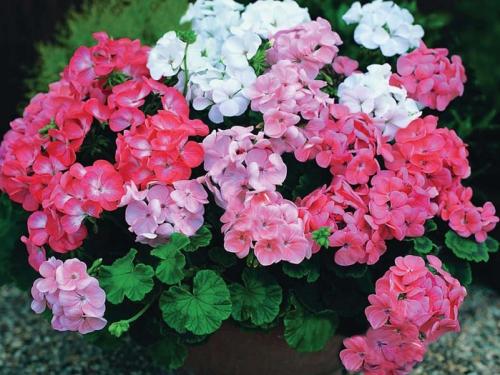 Розовые и белые цветы садовой герани