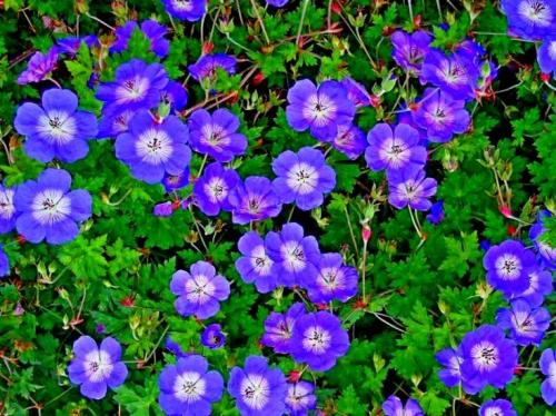 Фиолетовые цветы герани