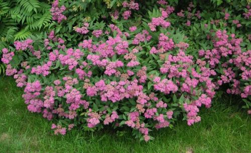 Розовые цветки спиреи