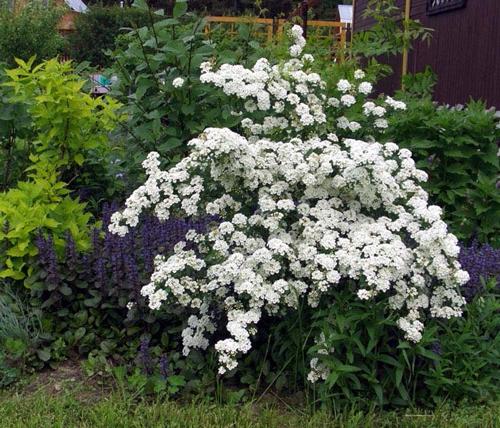 Белые цветки спиреи на кусте