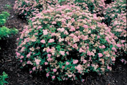 Растущий розовый куст спиреи