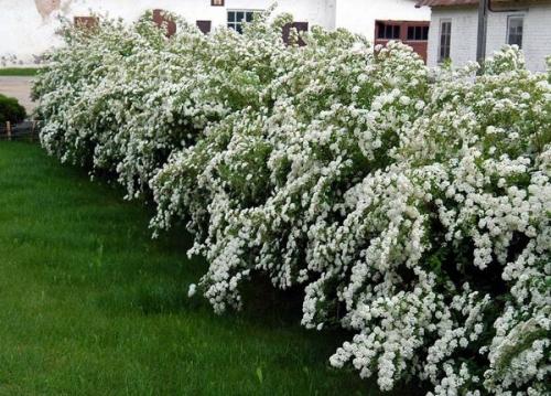 Белые кусты спиреи