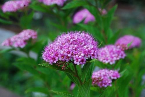 Яркие цветы спиреи