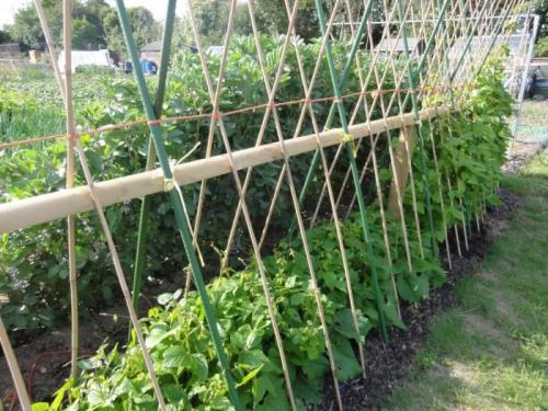 Грядка фасоли в саду