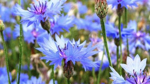 Синие цветки василька