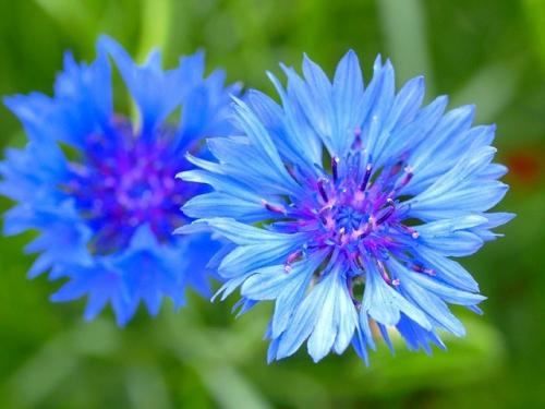 Синие цветки с фиолетовой сердцевиной