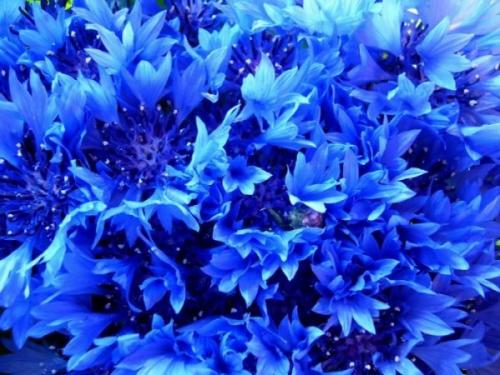 Синие соцветия васильков