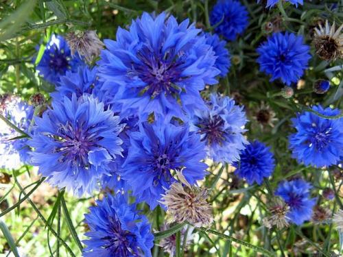 Цветы васильков в поле
